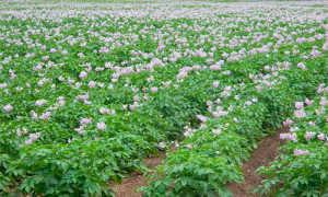 Болезни картофеля: описание и лечение, фото