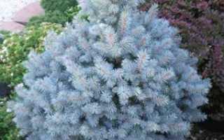 Голубая ель: синяя колючая ель, как её вырастить, как выглядит сама ель и её семена, где они