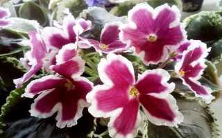 Фиалка Карусель: фото и описание, выращивание и уход в домашних условиях за сортом