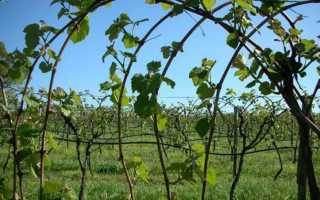 Выращивание винограда в средней полосе: агротехника, уход, советы для начинающих