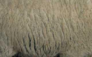 Ташлинская порода овец: описание, характеристика, правила содержания и ухода, отзывы владельцев