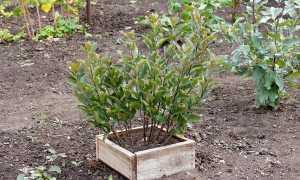 Подвои для яблонь: описание и характеристика, виды, как вырастить подвой