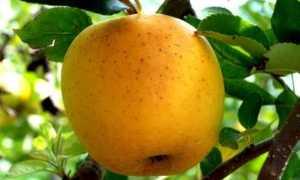 Сорт яблони Корей: ботаническое описание и характеристика сорта, агротехника выращивания и ухода, фото, отзывы