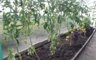 Томат Краснобай – описание сорта, урожайность выращивание и уход