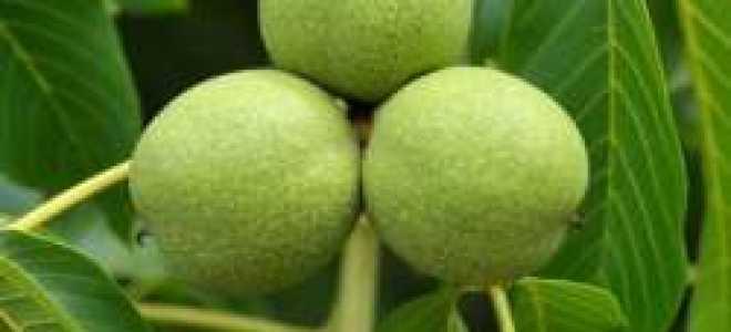 Грецкий орех Великан: характеристика и описание, плюсы и минусы, урожайность сорта