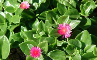 Аптения: разновидности цветка с фото, уход и размножение в домашних условиях