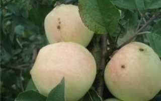 Рижский голубок, яблоня – описание с фото, характеристика сорта