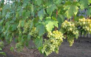Виноград Валёк: описание сорта, фото, посадка и уход
