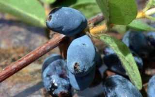 Жимолость: посадка, выращивание и уход в Подмосковье весной, лучшие сорта, сбор урожая