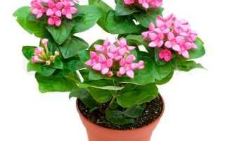 Бувардия: описание комнатного растения с фото, выращивание и уход в домашних условиях, особенности размножения