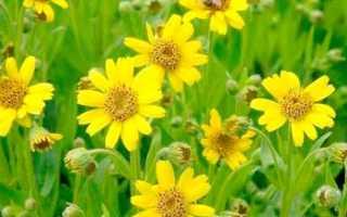Применения арники горной, целебные и лечебные свойства травы, показания и противопоказания применения в народной медицине