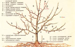 Строение яблони: описание, ботаника, биология, фото