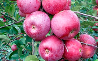 Яблоня Подарок Графскому: описание и характеристика, особенности выращивания и ухода, фото