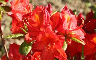 Рододендрон жёлтый (азалия понтийская): фото и описание сортов, посадка и уход в открытом грунте