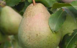 Груша Ника: характеристика и описание сорта, особенности посадки и ухода за деревом, фото
