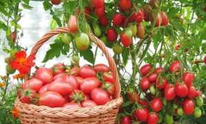 Сорт томатов «Чио Чио Сан»: характеристика и описание, урожайность, особенности посева, выращивания и ухода, фото, отзывы