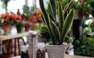 Сансевиерия: разновидности и их описание, уход и выращивание, фото