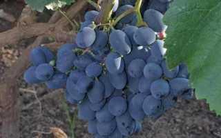 Виноград кишмиш Юпитер (США): описание сорта, фото, отзывы