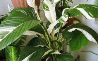 Спатифиллум Домино: описание с фото, особенности ухода и выращивания в домашних условиях