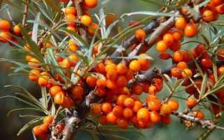 Облепиха Джемовая: описание сорта с фото, опылитель для растения, морозостойкость, посадка и уход