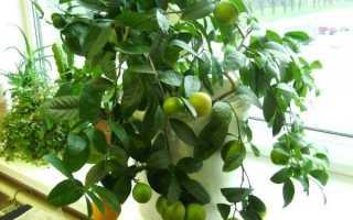 Цитрусовые комнатные растения: виды и их описание, уход и выращивание в домашних условиях, фото, видео