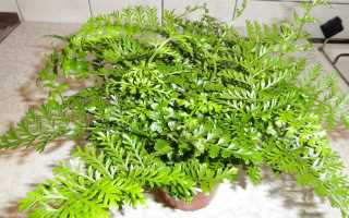 Асплениум гнездовой: описание с фото, уход и выращивание комнатного растения в домашних условиях