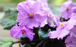 Фиалка Панакота: описание и фото, особенности выращивания и ухода в домашних условиях