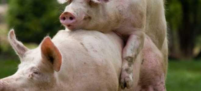 Охота у свиней: сколько длится, как определить, признаки, фото