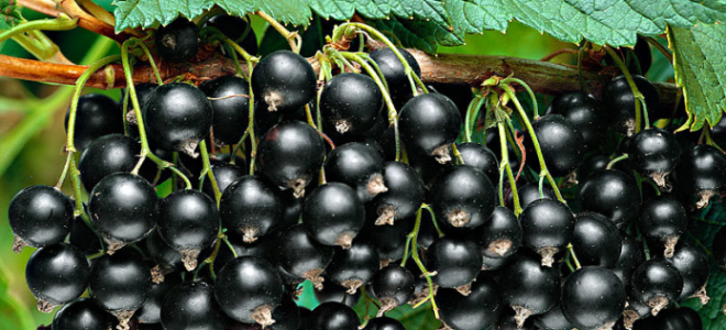 Обработка смородины содой весной: для обильного урожая, как использовать, приготовление растворов