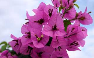 Размножение бугенвиллии в домашних условиях, уход и выращивание, фото, видео