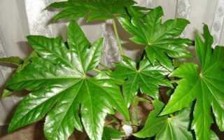 Фатсия японская: уход в домашних условиях, фото, приметы и суеверия, выращивание из семян