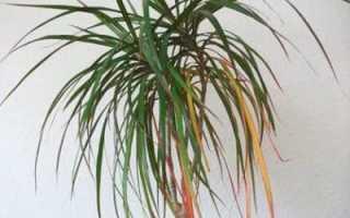 Почему у драцены желтеют листья в домашних условиях: причины, что при этом делать и как спасти растение,