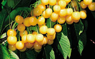 Черешня Чермашная: описание и характеристика сорта, выращивание и уход, фото