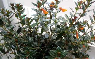 Нематантус цветок: уход в домашних условиях, фото, размножение черенками, народные суеверия