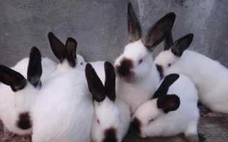 Калифорнийские кролики: описание и характеристика породы, вес, размеры, чем кормить, разведения и содержания в домашних условиях, фото,