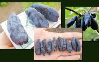 Крупноплодная жимолость сорта Бакчарская: описание сорта, опылители, фото