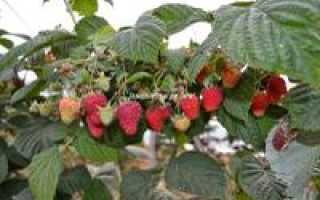 Малина Соколица: особенности сорта, агротехника, хранение, фото, отзывы