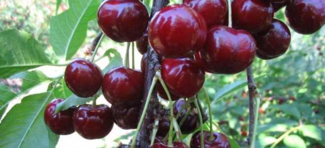 Дюк — гибрид черешни и вишни: всё о гибридах вишни и черешни, характеристики, выращивание, отзывы, лучшие сорта,