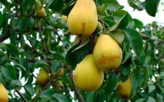 Груша Лада: характеристика и описание сорта, особенности выращивания и ухода, фото, отзывы