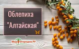 Облепиха Алтайская (Сладкая): описание сорта, фото