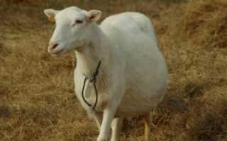 Как определить беременность у козы в домашних условиях: как узнать срок, основные методы, видео