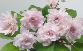 Фиалка Литуаника: фото и описание, выращивание и уход в домашних условиях