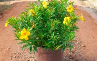 Комнатное растение алламанда: описание и уход в домашних условиях, фото