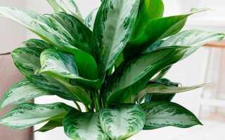 Аглаонема переменчивая: описание растения с фото, особенности выращивания и ухода в домашних условиях
