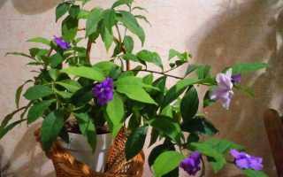 Брунфельсия (комнатное растение): уход в домашних условиях, фото