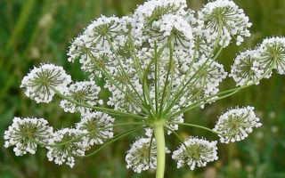 Семена аниса: лечебные свойства и противопоказания, особенности применения при потере голоса, фото