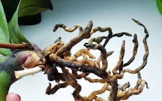 У орхидеи сгнили корни: что делать и как спасти растение, как пересадить и сохранить орхидею, видео