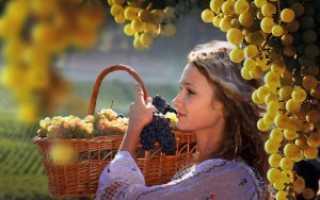 Когда и как правильно собирать виноград: оптимальные сроки, правила сбора и хранения урожая