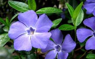 Что такое барвинок: когда растение цветёт, как выглядит цветок, характеристика, отзывы, фото цветов на клумбе