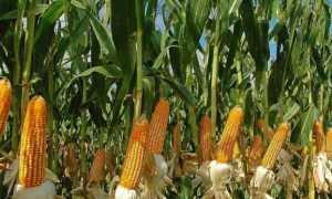 Посадка кукурузы: срок посадки, лучшие сорта, как подготовить и сохранить семена, способы и схема посадки, дальнейший уход
